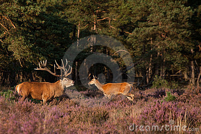 Male And Female Red-dear In Mating-season Royalty Free Stock Images - Image: 21473429