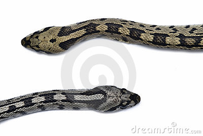 Male and female snakes.