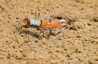 Male Fiddler Crab