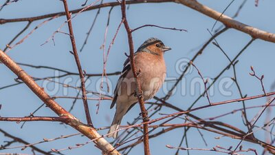 Chaffinch stock footage