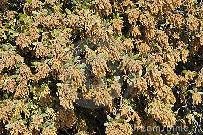 Male flowers of Holm Oak