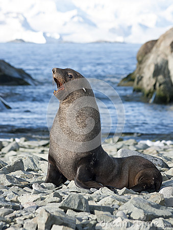 Free Male Fur Seals On The Beach Of The Antarctic. Stock Images - 28643224