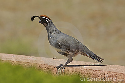 Male Gambel s(california) Quail