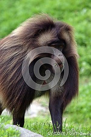 Free Male Gelada Baboon Royalty Free Stock Photos - 283558