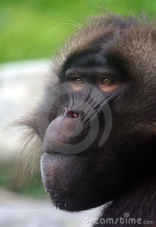 Free Male Gelada Baboon Royalty Free Stock Images - 283559