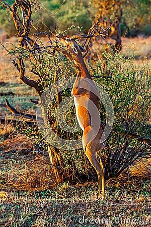 Free Male Gerenuk Stock Photos - 48176023