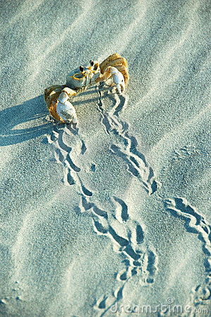 Male Ghost Crab Sidestep
