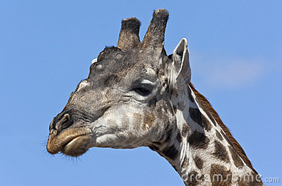 Male Giraffe - Botswana