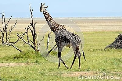 Male giraffe. Manyara, Tanzania