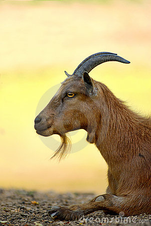 Male goat on farm