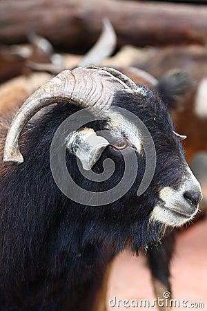 Male goat on farm