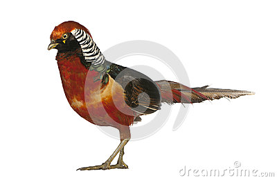 Male Golden Pheasant or  Chinese Pheasant