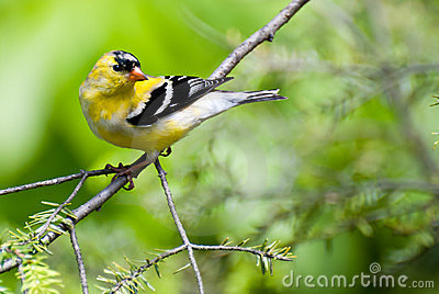 Male Goldfinch Changing to Breeding Colors in Spri