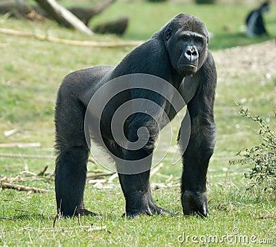 Free Male Gorilla Stock Photos - 4884093