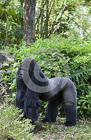 Free Male Gorilla (Gorilla Gorilla) Stock Photo - 20136640