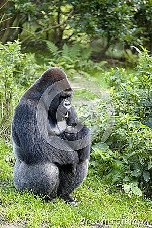 Free Male Gorilla (Gorilla Gorilla) Stock Image - 37986921