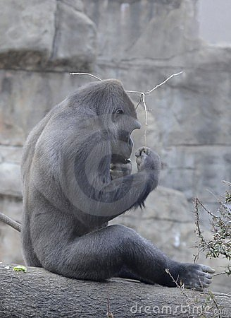 Male gorilla and a stick