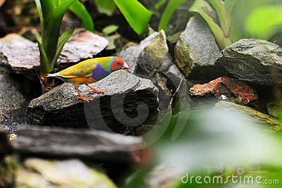 Male Gouldian Finch Bird