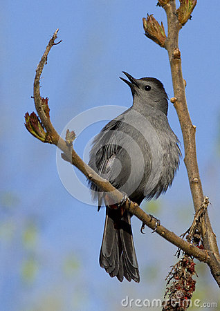 Male Gray Catbird