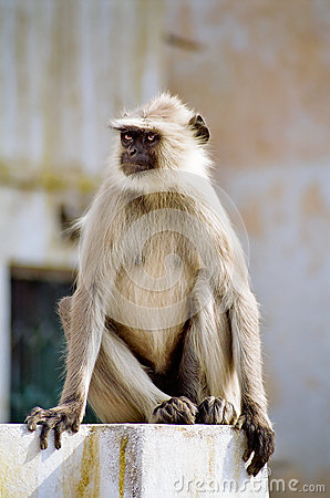 Gray Langur Monkey, India
