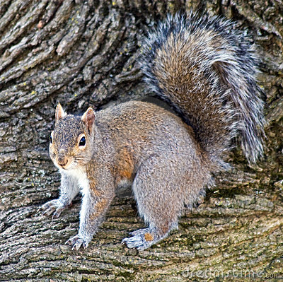 Male Gray Squirrel Stock Photo - Image: 14444100