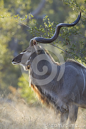 Free Male Greater Kudu Bull, (Tragelaphus Strepsiceros), South Africa Royalty Free Stock Photography - 28678897