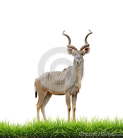 Free Male Greater Kudu With Green Grass Isolated Stock Image - 38710211