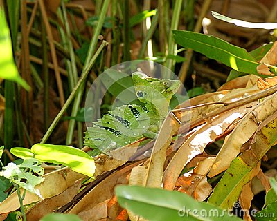 Male Green Basilisk, Basiliscus plumifrons