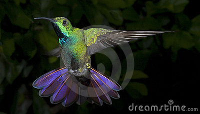 Male Green-Breasted Mango Hummingbird