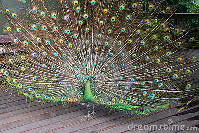 Male Green Peafowl (Peacock)