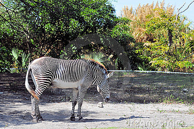 Male Grevy s Zebra