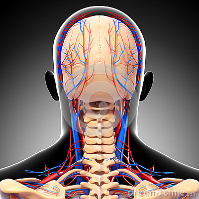 Male head back view circulatory system in gray