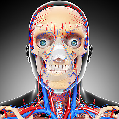 Male head front view circulatory system in gray