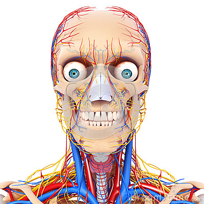 Male head nervous and circulatory system front vie