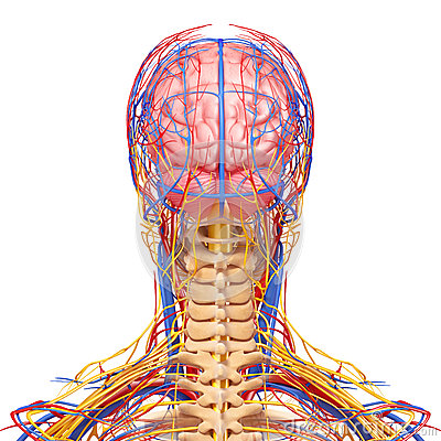 Male head nervous and circulatory system in gray