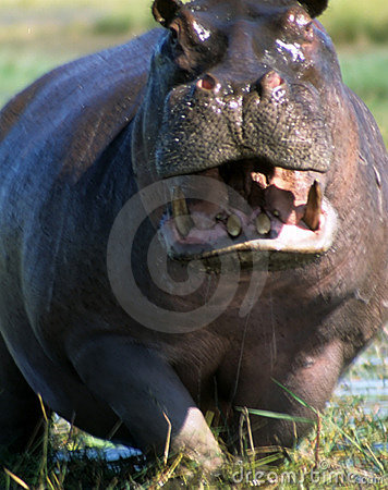 Male hippopotamus defending his ground