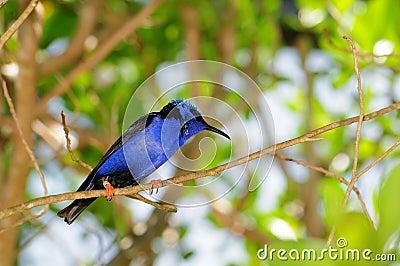 Male honeycreeper bird