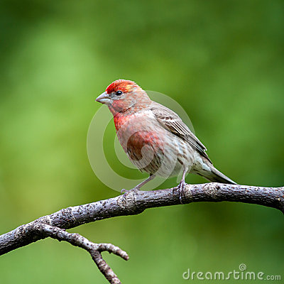 Free Male House Finch Stock Images - 45584364