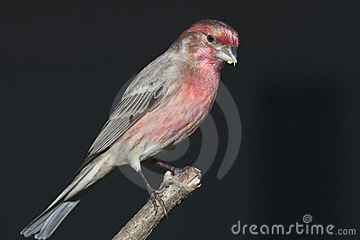 A male house finch (Carpodacus mexicanus).
