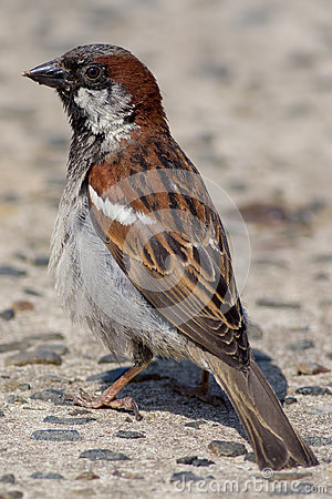 Free Male House Sparrow Passer Domesticus. Close Up Of Garden Bird Stock Photos - 95628603