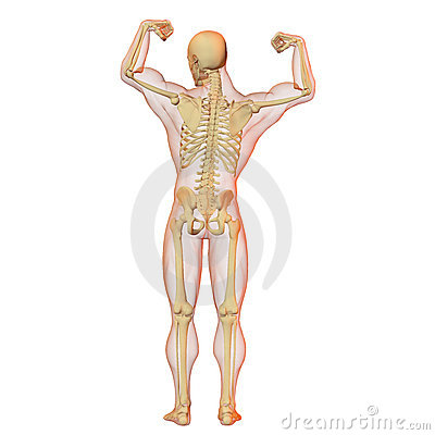 Male human body and skeleton.