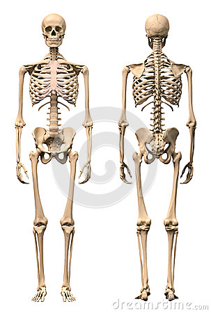 Free Male Human Skeleton, Two Views, Front And Back. Royalty Free Stock Photography - 31367867