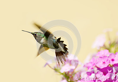 Male hummingbird.