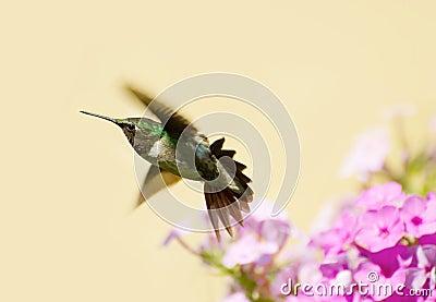 Male hummingbird.