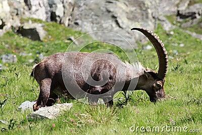 Male ibex (ibex goat)