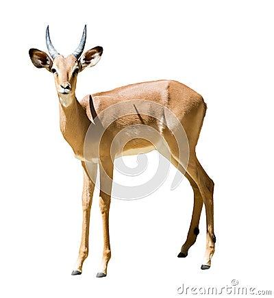 Free Male Impala Royalty Free Stock Image - 46328766