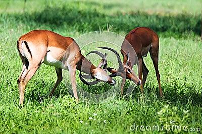 Male Impala antelope