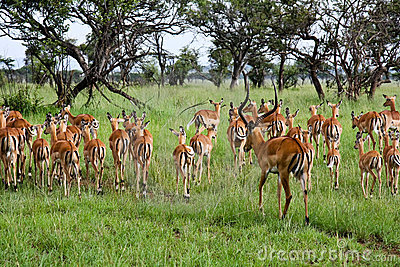 Male Impala Herding His Females Away