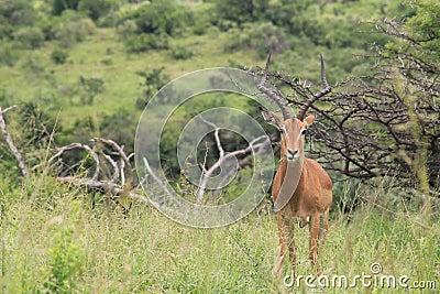 Male impala posing for the camera