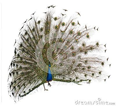 Free Male Indian Peafowl Displaying Wheel Stock Images - 14762404